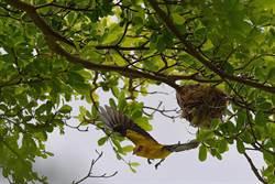 一級保育黃鸝瀕臨絕種  近年穩定在高雄出現