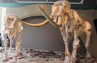 大象林旺與馬蘭再現 科博館組200餘塊骨骼展出