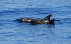 花紋海豚母子共游 遊客直呼「好可愛」