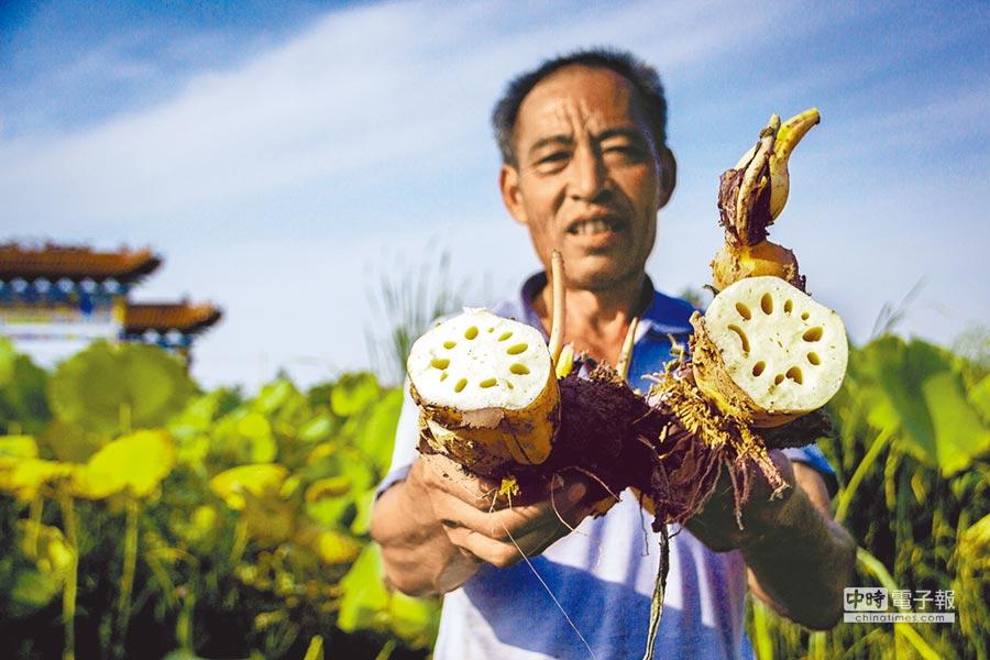 山西省洪洞縣師村的農民展示收穫的蓮藕。(新華社資料照片)