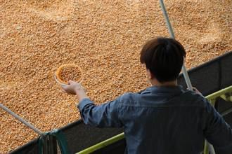 農糧署抽驗國產玉米 未含基改成分