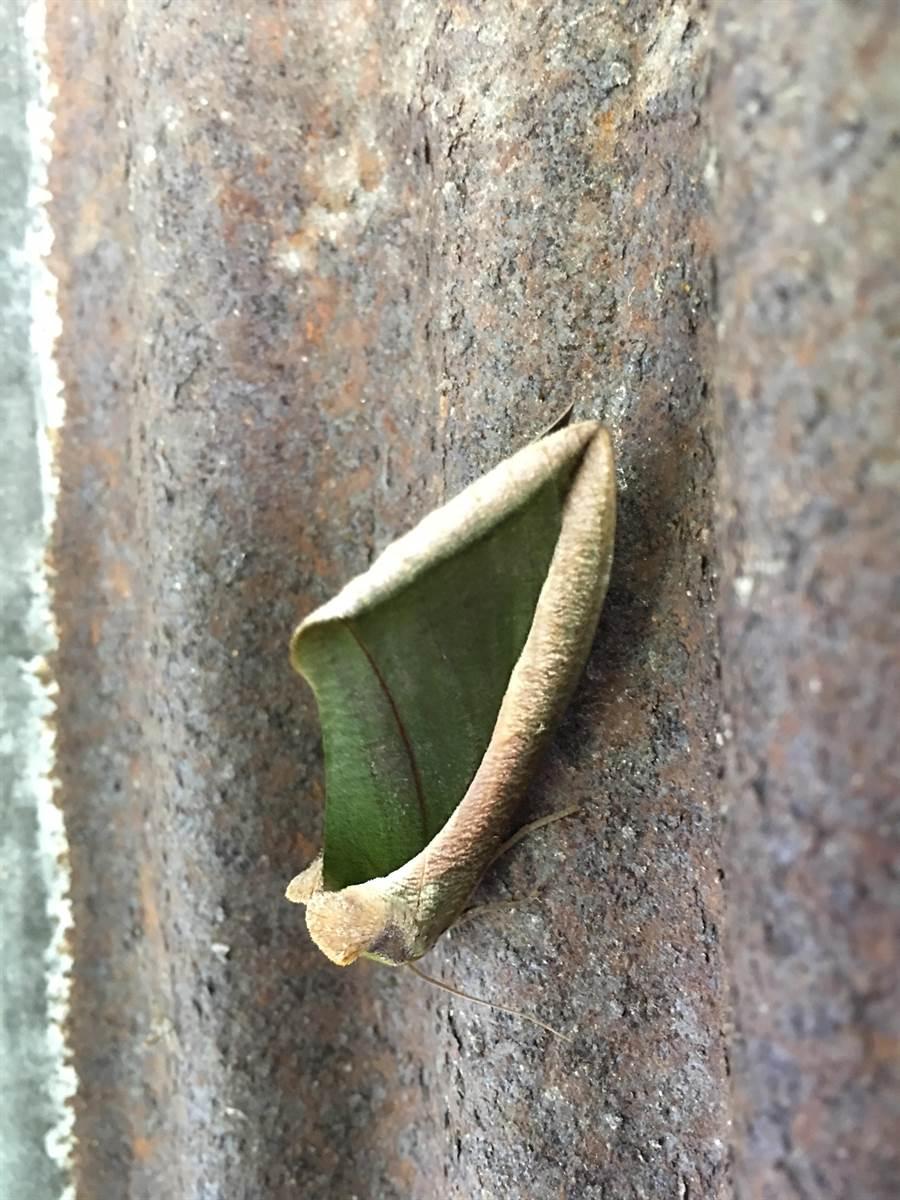 豔葉夜蛾乍看像是反捲的植物葉片,事實上牠的翅膀是平面的,捲曲的部分只是「色塊與斑紋」所造成的視覺效果。(沈揮勝攝)