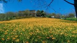 金針花進入盛開期 萬朵金花璀璨動人