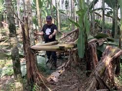 日月潭有熊出沒?60多棵香蕉樹攔腰斷