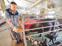 陸大學生返鄉養豬 帶村民脫貧