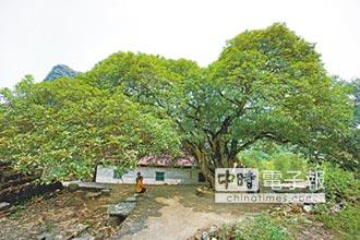 桂林最大桂花樹 樹齡超過300年