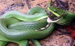 夢幻蛇種「灰腹綠錦蛇」 雙流遊樂區大戰攀木蜥蜴