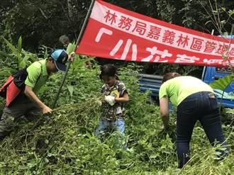 惱人小花蔓澤蘭成搖錢樹 收購價每公斤5元