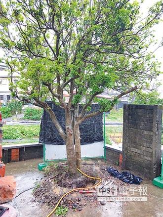 百年桂花樹 大雨中險遭竊
