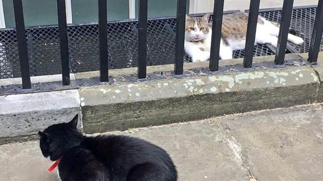 英國首相貓賴瑞懶呼呼地冷眼旁觀柵欄外面的戰友外交貓帕默斯頓,心裡想說:你有事嗎?(圖取自推特@Number10cat)