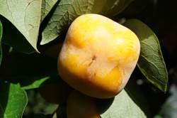 秋風催黃四周柿 公老坪紅柿上市
