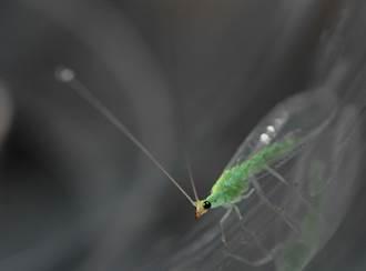 蟲剋蟲!農試所推廣以「草蛉」取代農藥