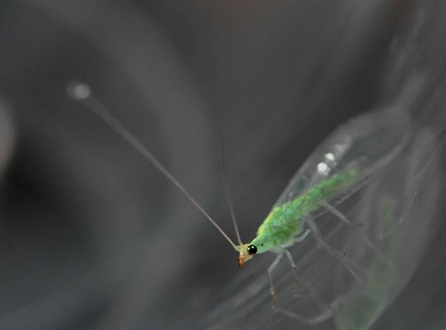 基徵草蛉的成蟲體態優美,兩片翅膀如透明的薄紗覆蓋於翠綠色的身體上。(農試所提供)