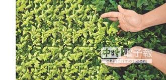 泰山尋訪6祕境 仙草蜜升級
