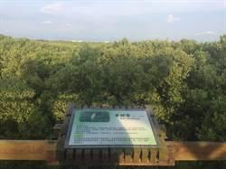 【有影】朴子溪國家級濕地紅樹林長太高 嘉縣府允修剪