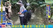 防範泰利颱風大作戰 農民砸重本護作物