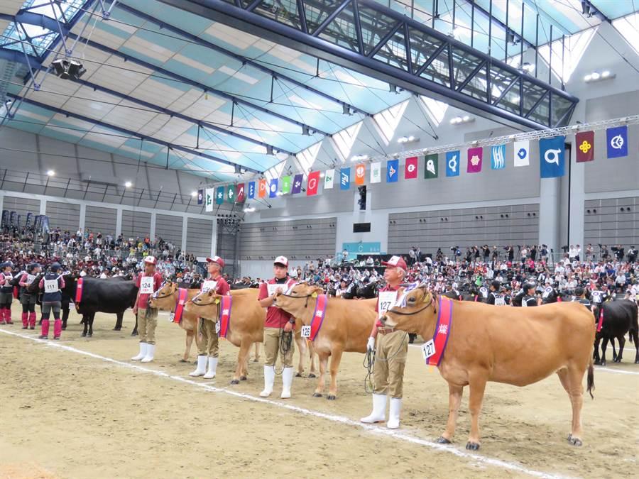 日本全國和牛能力共進會11日在仙台舉辦5年1度的和牛評選大賽,選出全日本最優秀的種牛和肉牛。(黃菁菁攝)