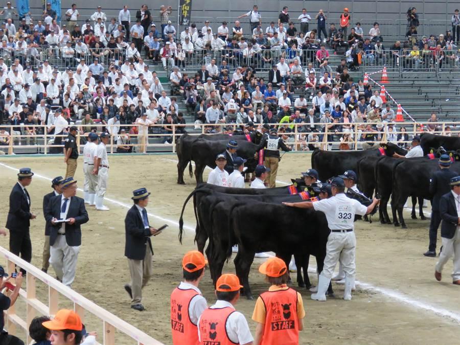 日本全國和牛能力共進會11日在仙台舉辦5年1度的和牛評選大賽,最後入圍的和牛在場上接受評審的嚴格評分。(黃菁菁攝)