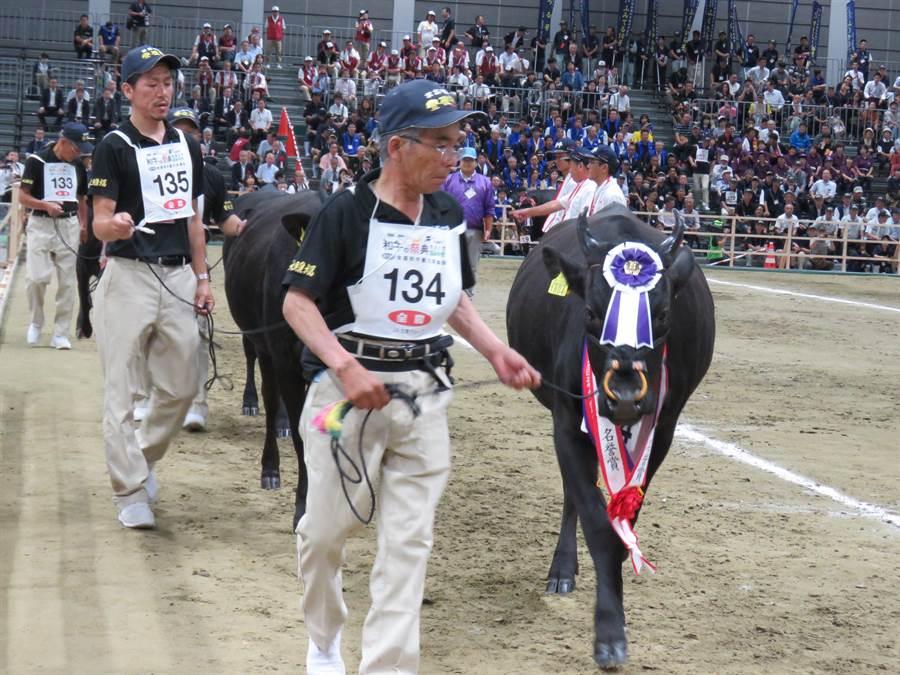 日本全國和牛能力共進會11日在仙台舉辦5年1度的和牛評選大賽,大分縣豐肥和牛育種組合(農會)被選為種牛冠軍。(黃菁菁攝)
