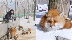 日本還有這個超萌地點!藏王狐狸村與上百隻狐狸近距離接觸,超療癒