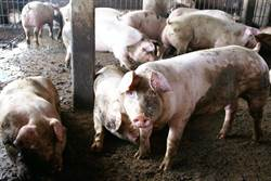 麥寮平均一人養6.6頭豬 公所盼縣府拒絕新設豬場