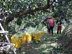 颱風不要來 寶山柚農狂採文旦柚