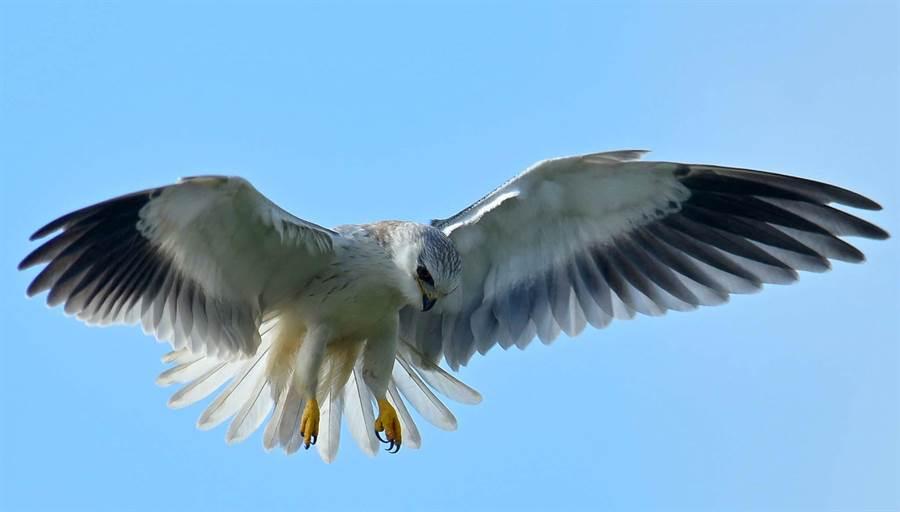黑翅鳶會在空中定點振翅、懸停,同時低頭搜尋地面上的獵物。(謝季恩提供)