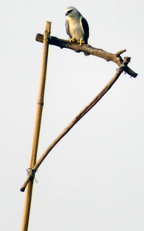 屏科大團隊在鳳梨田中架起人工棲架,讓黑翅鳶可停在架上搜尋獵物,不需耗廢體力一直飛。(洪孝宇提供)