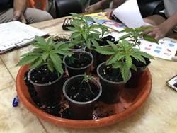 廚師自家樓上種大麻 家人以為在種花