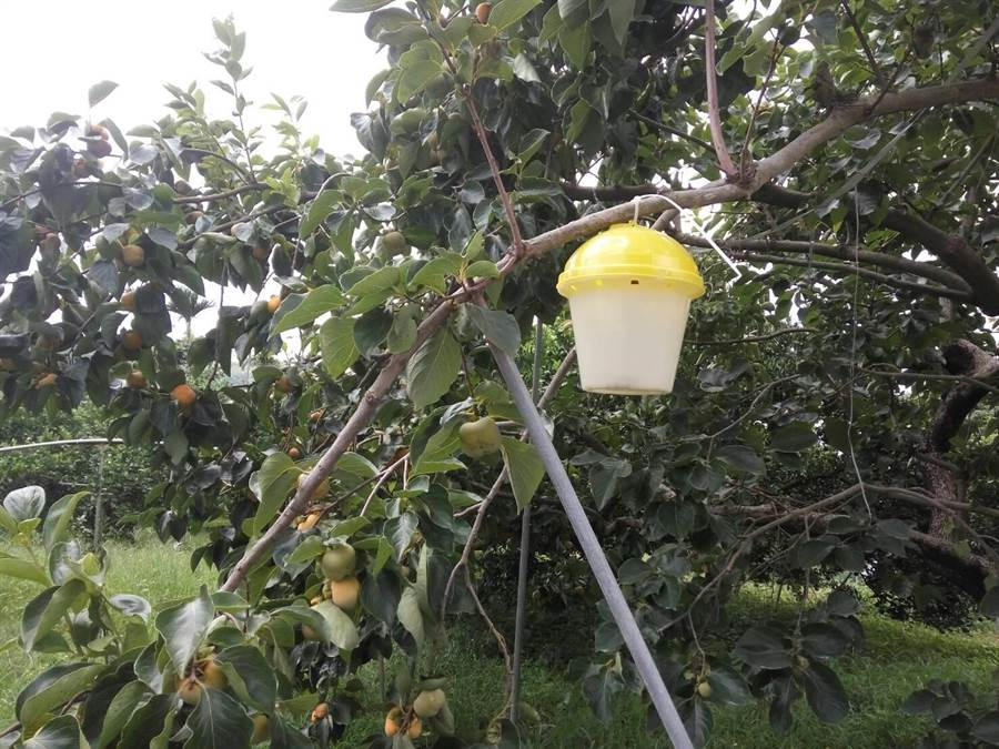 性費洛蒙誘引器懸掛柿樹,可防治東方果實蠅,可取代芬化利藥劑。(豐原農會提供)