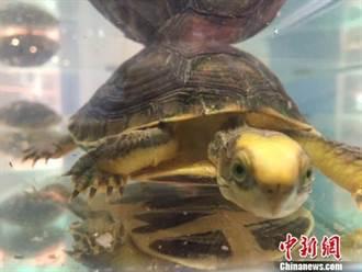 烏龜竟成傳家寶? 上海龜展「萌龜」價值百萬人民幣