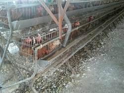 雞啼豬臭擾鄰 桃議員促落實畜牧場登記