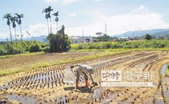 益菌肥加持 不用再燒稻草