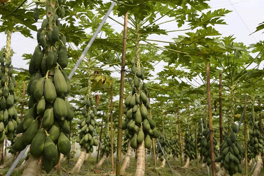 青農蔡忠翰種的無毒木瓜結實累累。(許素惠攝)
