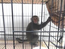 毒販養台灣獼猴警戒 仍被警方逮獲