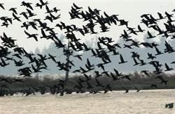 金門國家重要溼地慈湖 中央暫緩推動保育利用