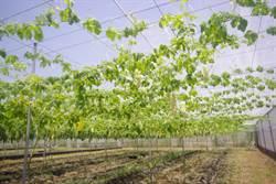 花蓮》苦瓜花蓮4號具保健價值 農委會搶攻國際市場