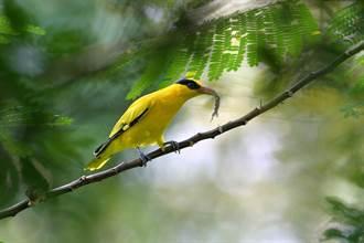 日團來訪鳥松溼地 探索黃鸝鳥行蹤