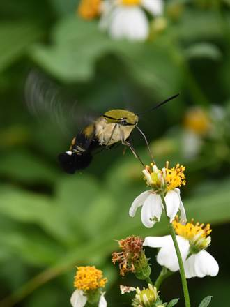 日月潭有人看到蜂鳥? 原來是長喙天蛾!