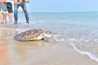 可憐綠蠵龜滿腹垃圾 康復後重「龜」大海