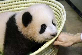 萌!上野熊貓寶寶命名「香香」中國網友的反應是…