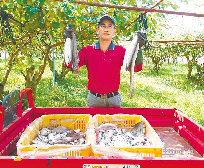 棗農胡進成在臉書分享,蜜棗授粉期需要腐敗的海鮮來吸引麗蠅,所以真的要「感恩seafood、讚嘆seafood」。(胡進成提供)
