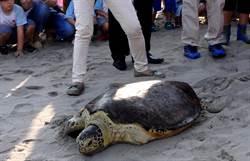 救傷15年 海龜「楊過」喜回大海