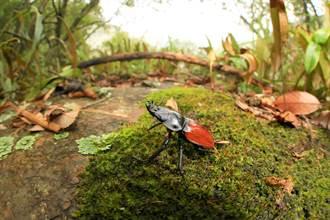 入秋注意!為紅圓翅鍬形蟲留一條「活路」