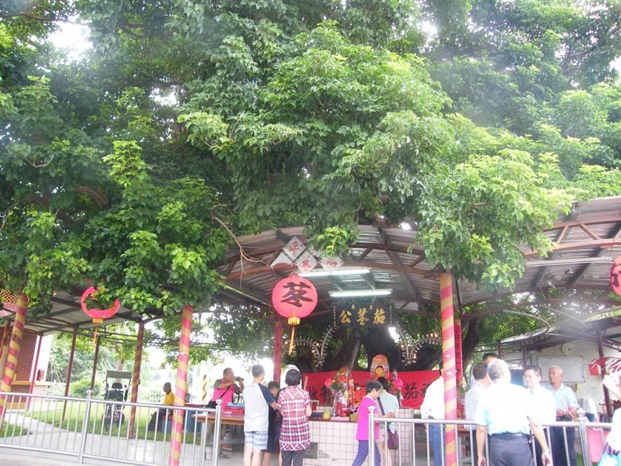 埔心鄉太平村的500歲老茄苳公樹中秋節生日,契子女們都前來拜拜祝壽。鐘武達攝。