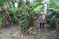 香蕉賤價1公斤1元沒人要 蕉農擺爛不採收
