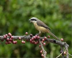 雙十連假 綠珍珠鳥松濕地稀客等你賞鳥