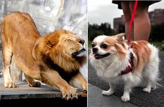有大型貓科動物 為什麼沒有大型犬科動物?