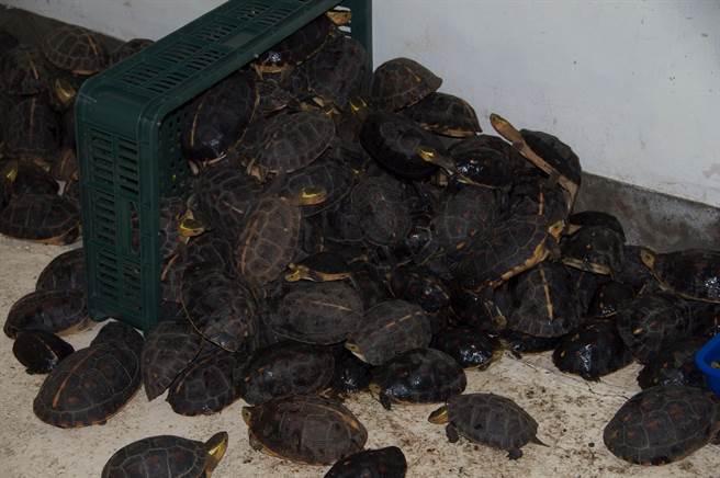 被盜獵的食蛇龜,保育類野生動物食蛇龜遭盜獵猖獗,造成沒有暫時的收容空間可以容納大量被查緝到的食蛇龜。(圖/中興大學食蛇龜保育團隊提供)