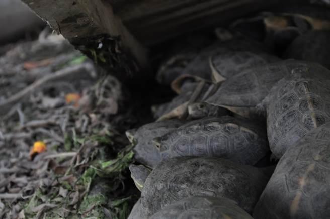 無法野放的食蛇龜,因為獵捕風險及尚未做好疾病及遺傳多樣性的調查,無法野放的食蛇龜只能待在收容中心,等待真正回到大自然的那天。(圖/中興大學食蛇龜保育團隊提供)